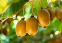 Chile will be exporting Kiwi fruit to India